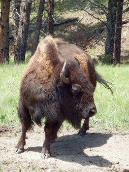 Bison - Huge!!