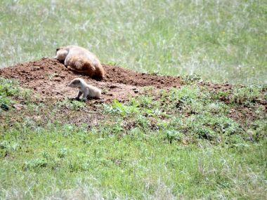Devil's Tower - Prairie Dogs