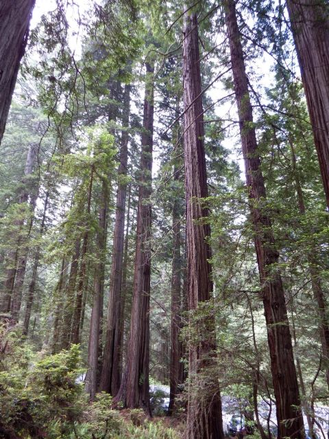 California - Redwoods