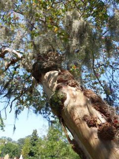 Savannah - Spanish Moss