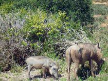Addo - Warthog