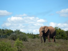 Addo - First Elephant