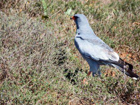 Addo - Secretary Bird