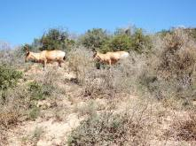 Addo - Red Hartebeest