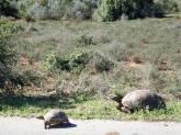 Addo - Tortoises