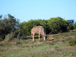 Addo - Kudu Bull