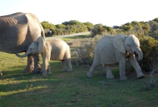 Addo - More Elephants - After a Mud Bath