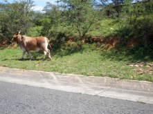 First cow next to the road