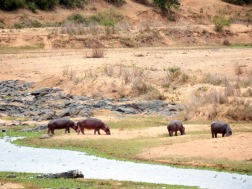 Crocodile River - Hippos