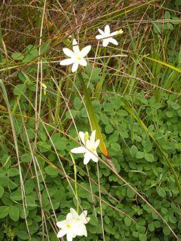 Cape Leeuwin - Wild Flowers