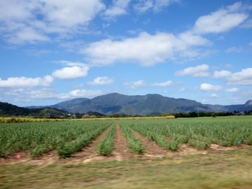 Sugar Cane - On the way to Cape Tribulation