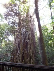 Curtain Fig Tree near Yungaburra
