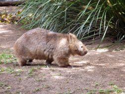 Australia Zoo - Wombat