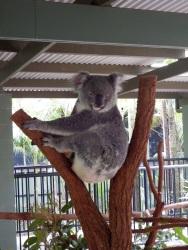 Australia Zoo - Koala