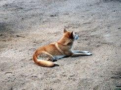 Australia Zoo - Dingo