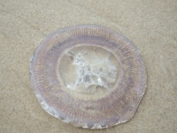 Flat Rock - Jellyfish